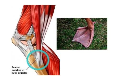 รูปที่ 2 กายวิภาคของ Pes anserinous จะเห็นว่าลักษณะช่างเหมือนเท้าสัตว์พวกเป็ดห่านจริงๆครับ